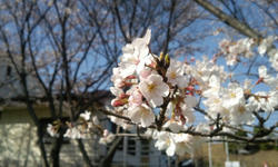 2010_桜1