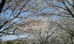 2010_桜2