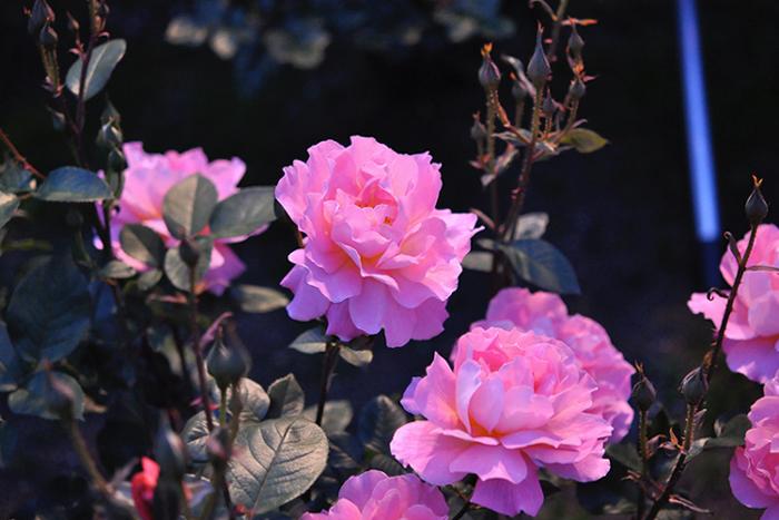 夜の薔薇1