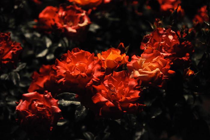 夜の薔薇2