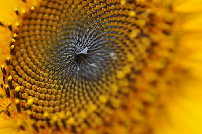向日葵の幾何学