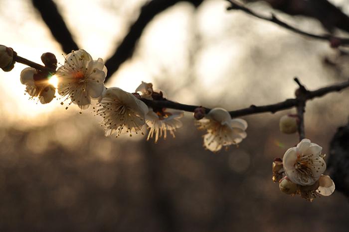 夕日と梅の花