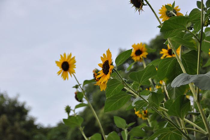 太陽の花2