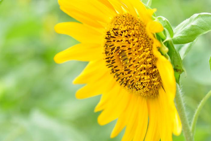太陽の花3