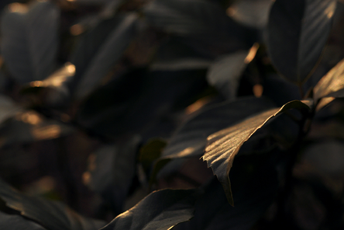 葉に差し込む夕陽