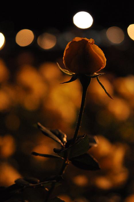 夜の薔薇3