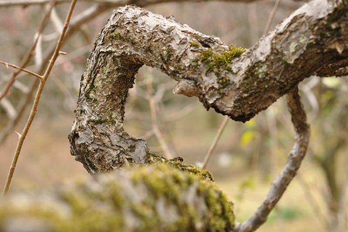カクカクの木