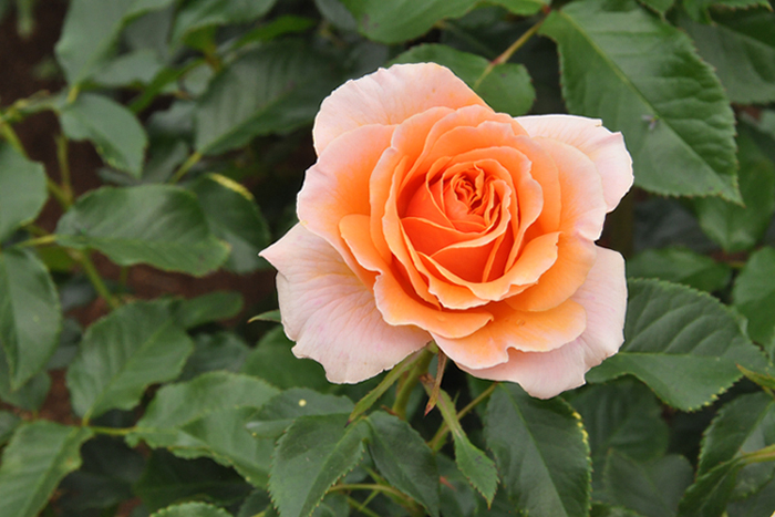 国際ばら新品種コンクール・2003年度入賞花