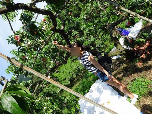 桃狩り一宮御坂の評判の良い農園美味しい格安食べ放題