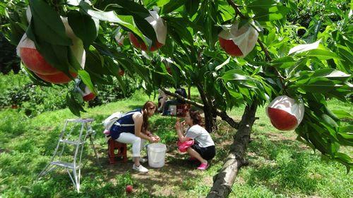初めての桃狩り食べ放題できる果物狩りフルーツ狩り山梨御坂観光園直売所の選び方のポイント