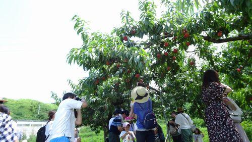 御坂で桃狩り人気おすすめの格安農園で食べ放題直売所