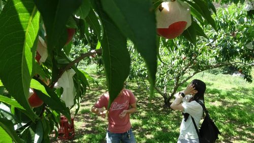 2019年おすすめの桃狩り食べ放題できる山梨(御坂町)農園農場。時間制限なしで家族で楽しめる