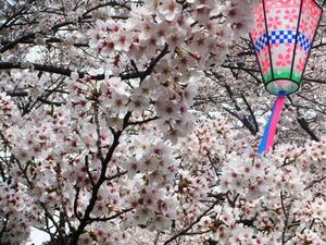 rojoukouen-sakura