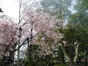 rojoukouen-sakura-2
