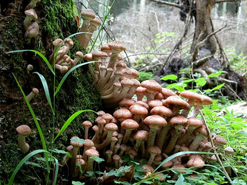 アルミラリア・オストヤエ(ツバナラタケ)記録更新 8.9平方キロメートル(2200エーカー)に菌