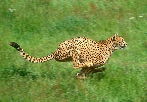 世界一走るのが速い動物