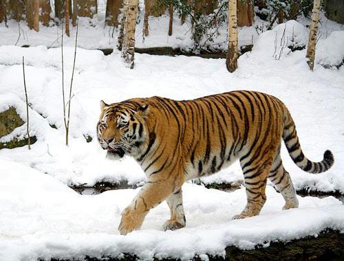 世界一大きいネコ科動物