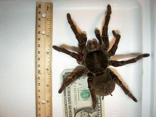 世界最大のクモ