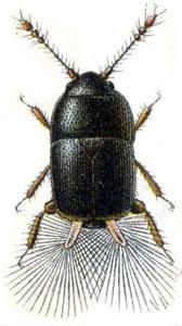 世界一小さい甲虫