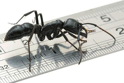 世界一大きい蟻