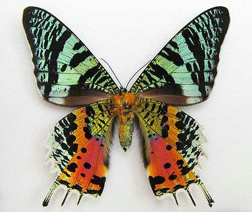 世界一美しい蛾