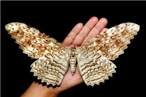 世界一大きい蛾