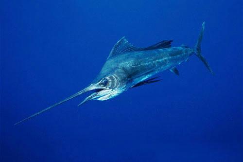 世界一泳ぐのが速い魚