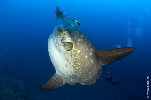 世界一大きい硬骨魚類