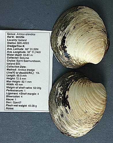 世界一長生きした二枚貝