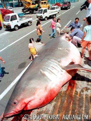 巨大なサメ