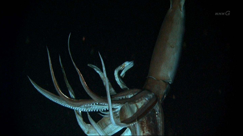 ダイオウイカの画像 p1_23