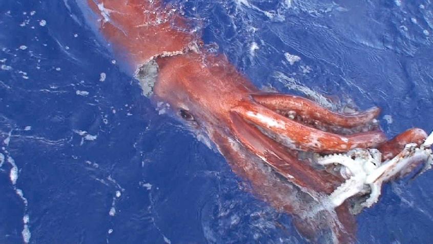 Collosal Tintenfisch vs Pottwal
