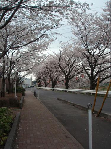 080403sakura3.jpg