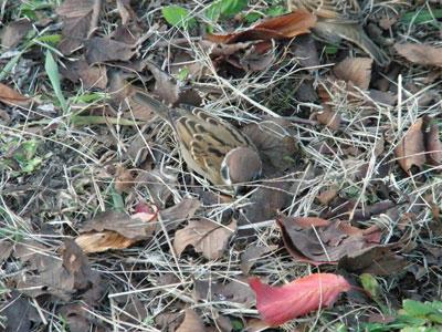 枯葉にまぎれてスズメがたくさんいてびっくりΣ(´∀`;)