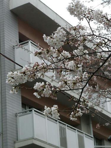 桜の花もだいぶほころんできてますね~(*´∀`)