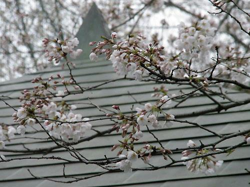 ぽつぽつとは咲いている部分が。