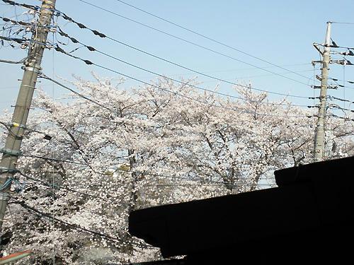 実家の私の部屋から見える桜です♪