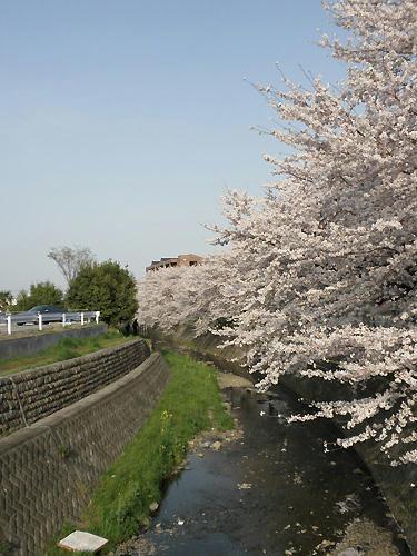 息を呑むような桜並木です・・・。