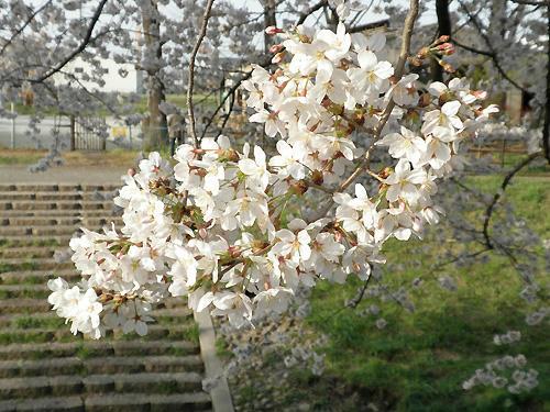 やっぱり桜には青空が似合う!