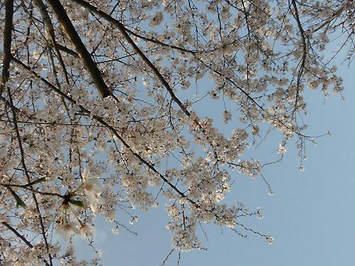 見上げてごらん、桜の花をw