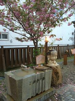 手湯と八重桜