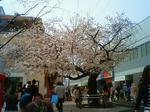 仙川駅前の桜 2009