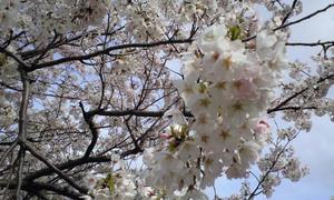 桜、桜、ひらひら舞い踊る