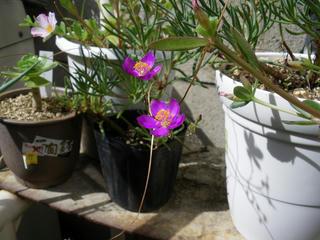 昨夏のクサハナビの花