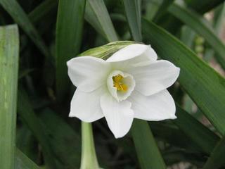 白花のスイセン