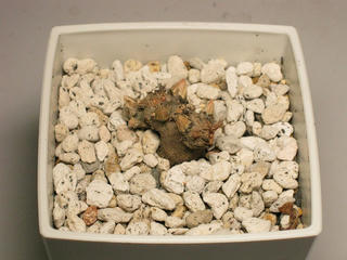 クサハナビの芋 in 3号角鉢