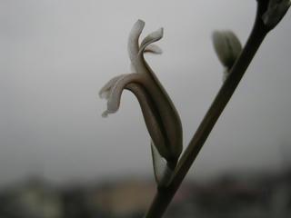 咲きますた♪ - ハオルチア・チャイナドレス(2)