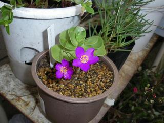 モロキーは難しいお - クサハナビの花とモロキニエンシス1号(2009夏)