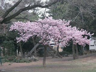 桜便り2010 第一便(1)