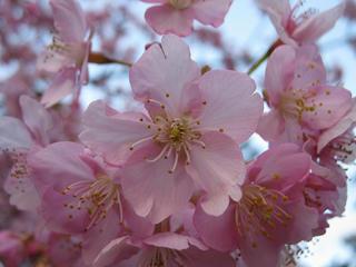 桜便り2010 第一便(2)